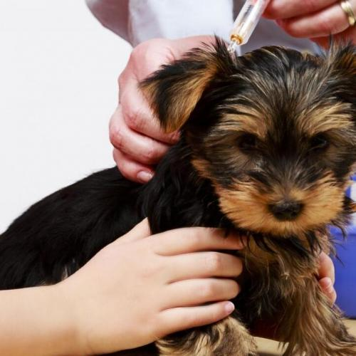The Yorkshire puppy and their health problems