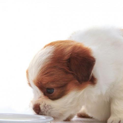 Weaning a puppy