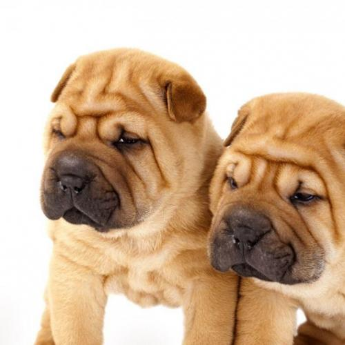 The Shar Pei puppy
