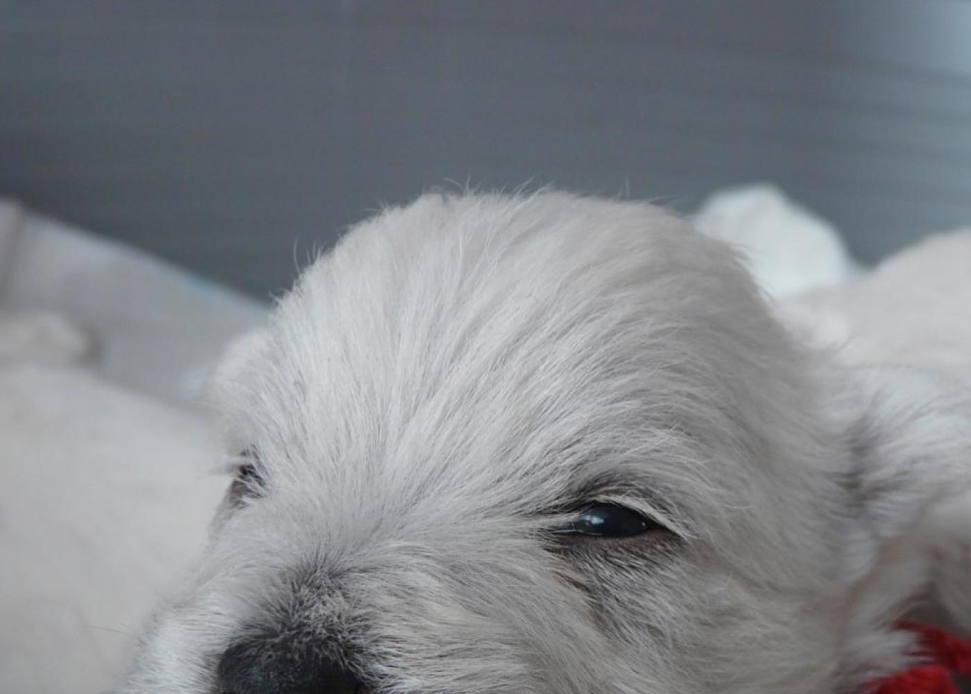 El cachorro de West Highland Terrier