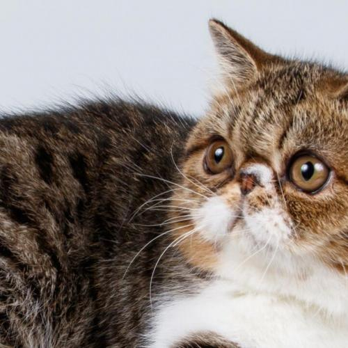 LE CHAT EXOTIC SHORTHAIR