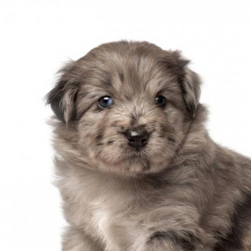 The Pyrenean shepherd puppy