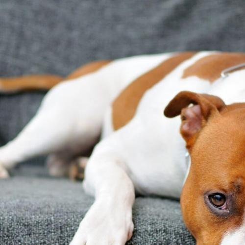 Is your dog from a breed that is considered to be potentially dangerous?