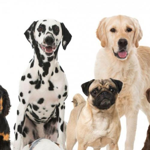 Dog breeds: what exactly are they?