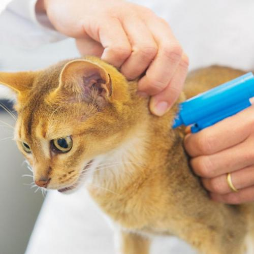 Microchip gatos: ¿es obligatorio?