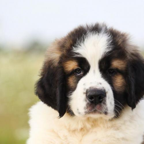 The St. Bernard puppy
