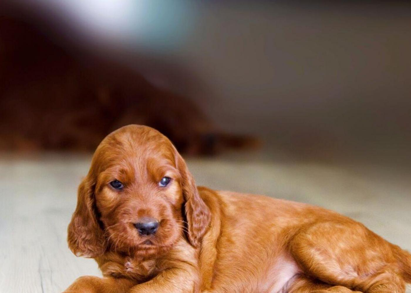 The Setter puppy