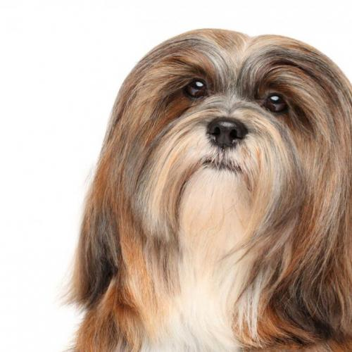 The Lhasa Apso puppy