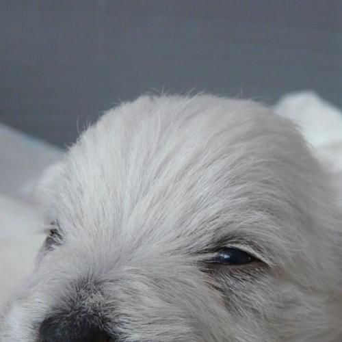 The West Highland Terrier puppy