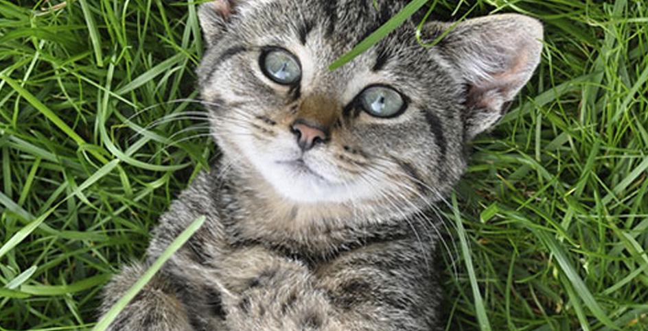 Os gatos e o efeito alucinógeno da erva de gato