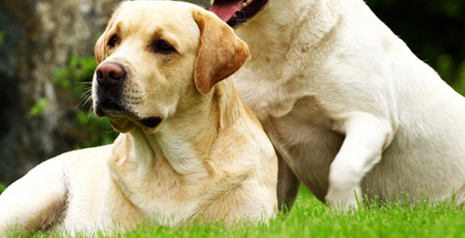 female dogs and altered hormones