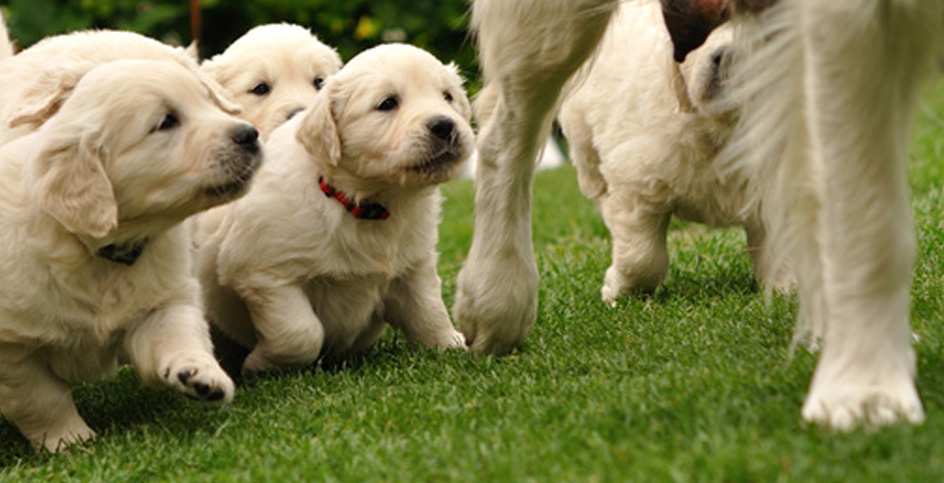 Canine lactation