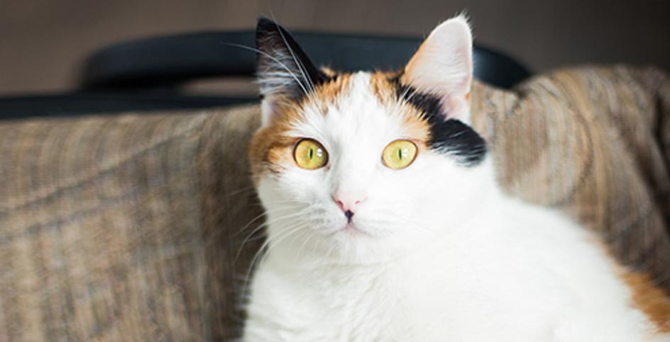 La sindrome di Garfield e l'obesità nei gatti