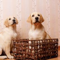 Los perros con expresión culpable y el mal comportamiento