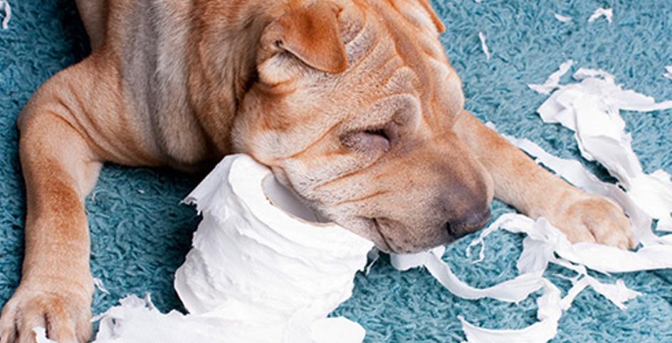 Cet amour destructeur: l'anxiété des chiens