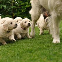 L'allaitement canin