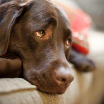 Chocolate is a forbidden sweet for dogs