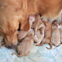 O melhor parto para a sua cadela