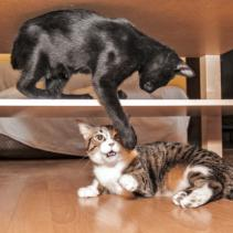 He adoptat un altre gat… i ara què faig?