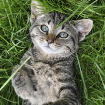 Le chat et les effets hallucinogènes de la cataire