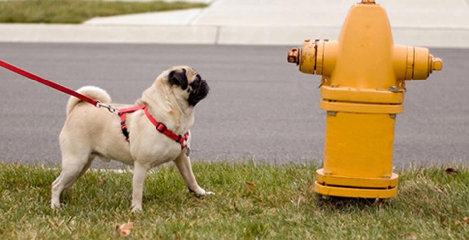 Ha arribat el moment de treure els bolquers al teu gos
