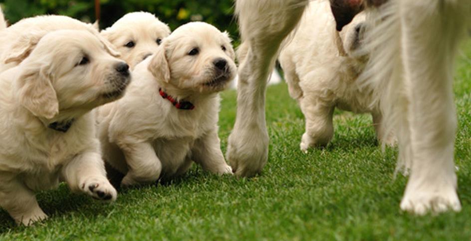 L'allattamento dei cuccioli di cane