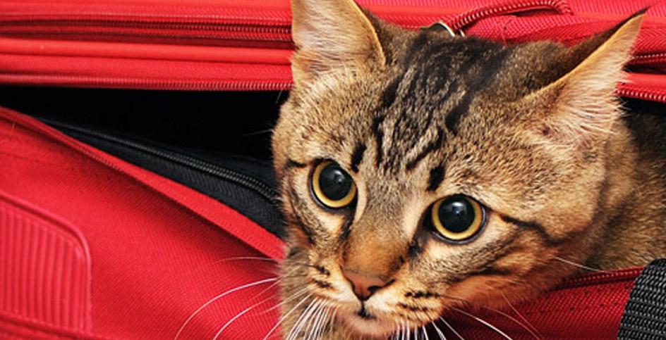 Viajar com o nosso gato