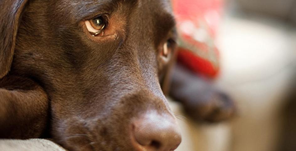 La xocolata, la llaminadura prohibida per als gossos