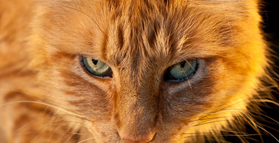Les chats, leur alimentation et leurs caprices