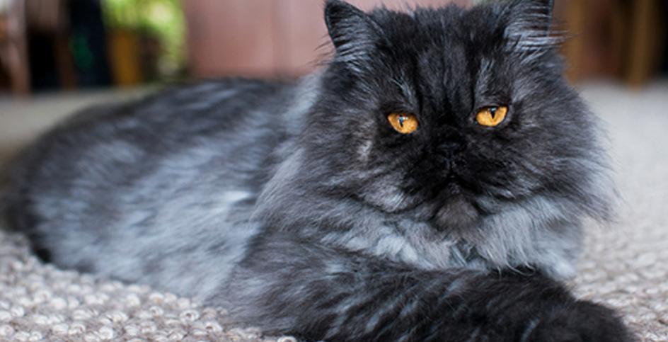 Um gato sénior