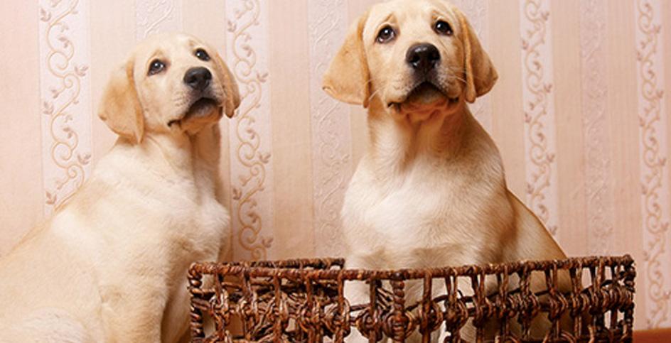 Hunde mit schuldigem Blick und schlechtes Verhalten