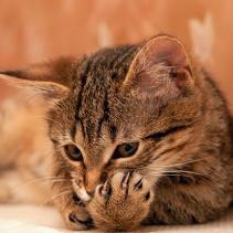 La coqueteria dels gats i les boles de pèl