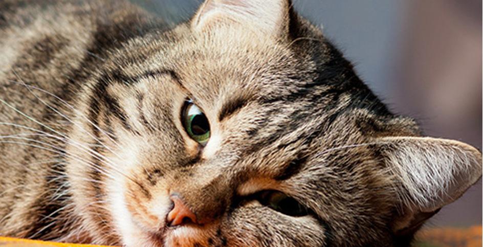 Сложность выявления заболеваний у кошки