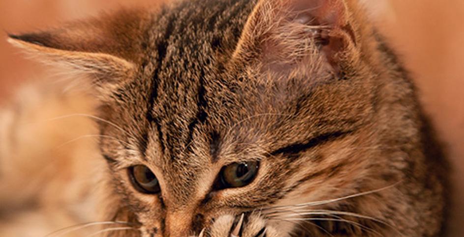 A vaidade dos gatos e as bolas de pelos
