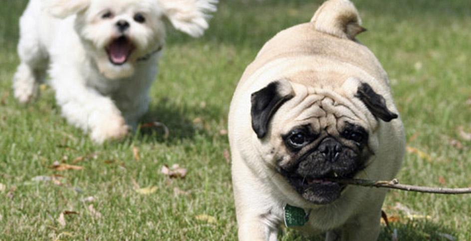 Cães pequenos... A vida ganha outro ritmo!