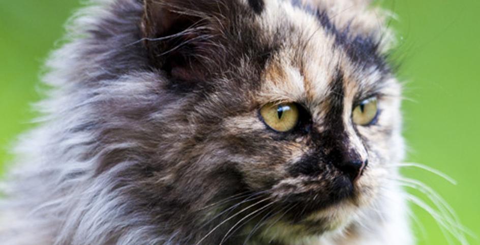 Um gato no cio