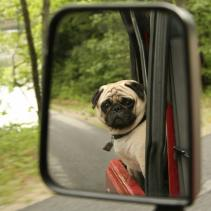 The dog in front of the mirror