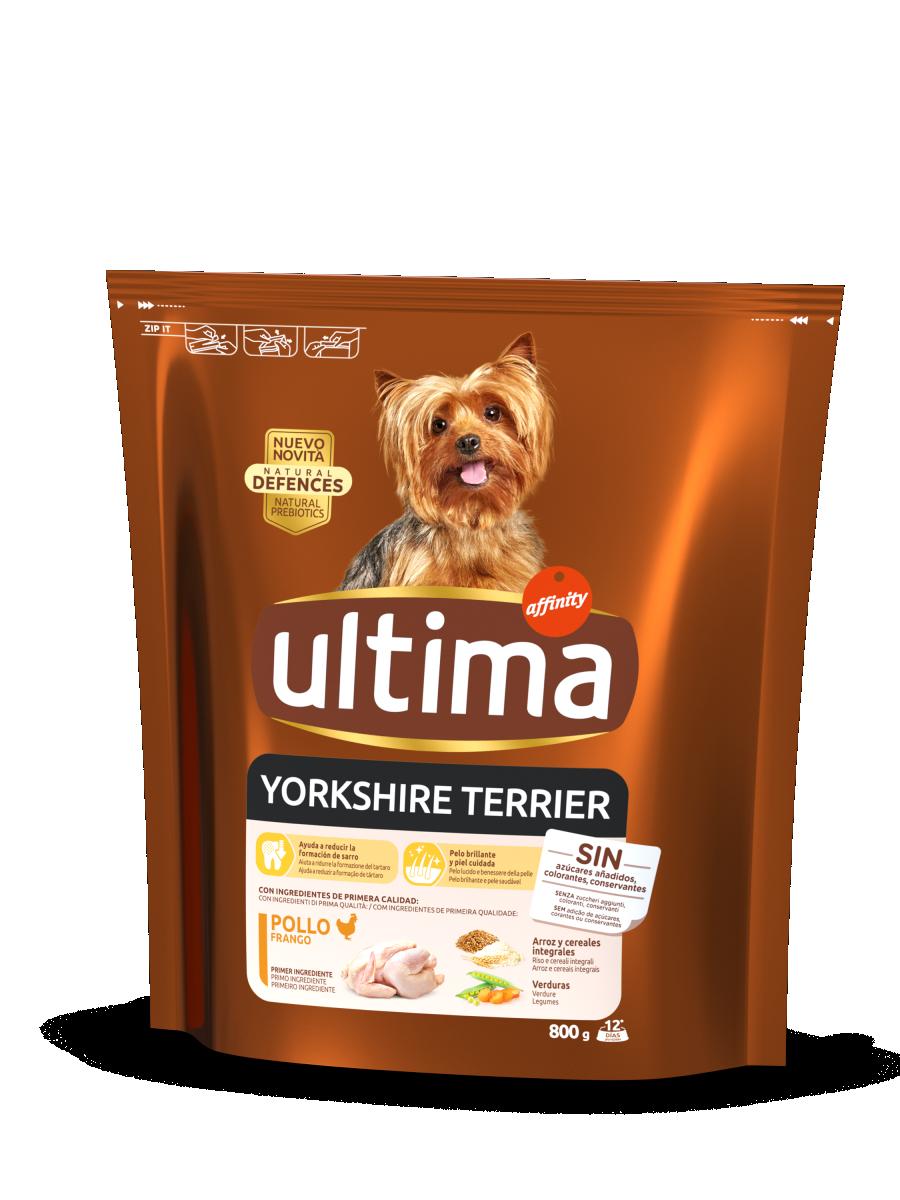 Mini Yorkshire Terrier avec du Poulet