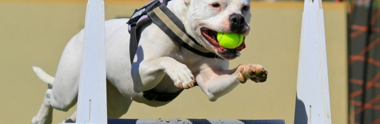 Ultimapedia, le flyball, ce sport qui rapproche les humains et leurs chiens Affinity Ultima