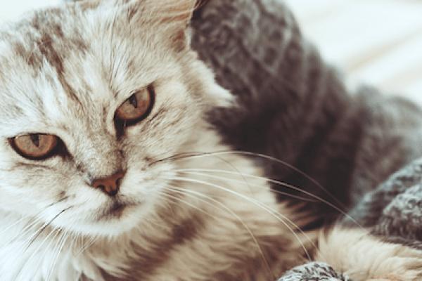 cuanto tiempo dura la conjuntivitis en gatos
