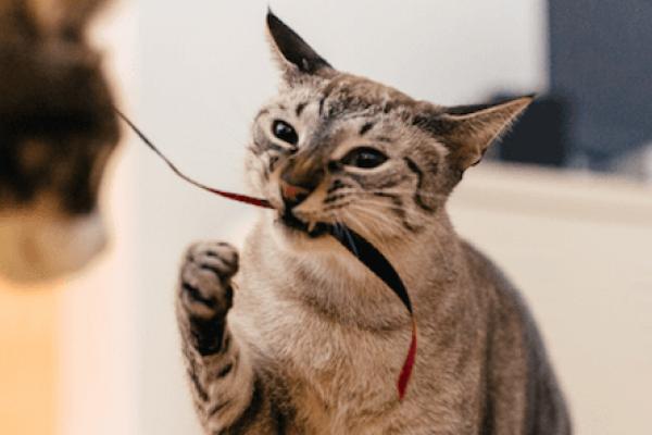 rinotraqueitis felina prevención de diabetes