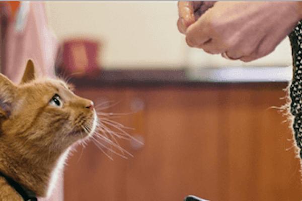 anemia no regenerativa en gatos