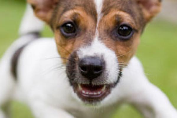enfermedad valvular degenerativa en perros pdf